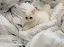 للبيع قطه شيرازي فرنسي