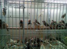 للبيع جميع انواع الطيور
