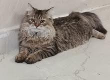 قطه شرايزيه لعوبه
