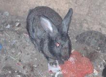 ارانب مستوى ممتاز وبصحه وعافيه