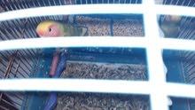 طيور الروزا