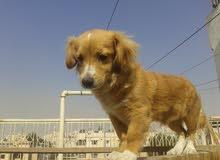 كلبة النوع تيرار