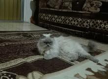 قطة هيملايا بيور للبيع او البدل