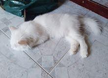 قطط شيرازي صغيره للبيع