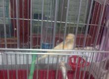 2 femelle canaris avendre