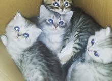 قطط شيرازى شانشيلا شهر ونص