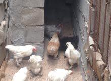 دجاج العدد 5 أزواج