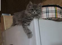 للبيع 3 قطط