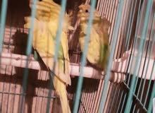 زوج طيور حب هاجرموا فول وردات جاهزات