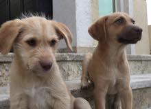كلبين واحد قولدن ريتريفر و الثاني بوكسر