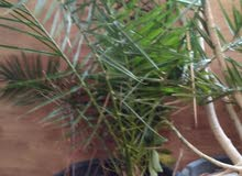 Amman -  Natural and Artificial Plants available for sale