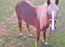 حصان اشقر العمر 6 سنوات