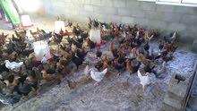 دجاج محلي للبيع