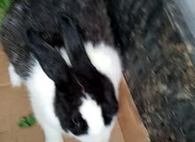 ارنب دكر