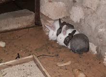 جرا ارنب للبيع او تبديل