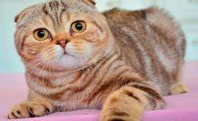 مطلوب قطة نوع سكوتش او شانشيلا بسعر معقول