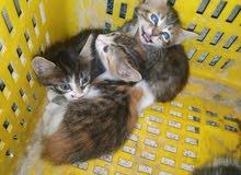4 قطط 30 dt القط الوحد
