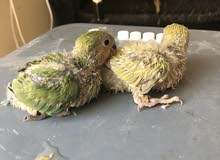 African Love birds chicks available