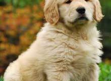 I need a Golden Retriever Puppy