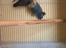 عصافير الروز