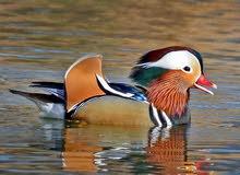 بط الماندارين Mandarin Duck