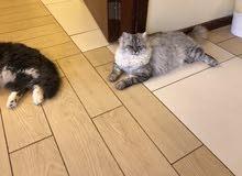قطط شيرازي وهملايا للبيع