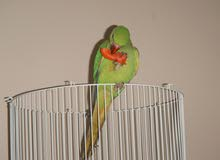Beautiful Parrot  for sale  8 months old
