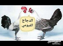 يوجد لدي دجاج فيومي عمرة خمسه شهور والشهر الجاي يصير يببيض بأذن الله للبيع بسعر