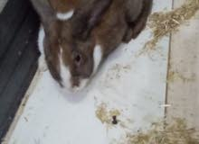 ارانب سلالات للبيع