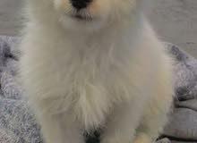 كلب بيشون