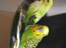 الجوز طيور البدج طيور الحب بارخص الاسعار عرض خاص لفتره محدوده