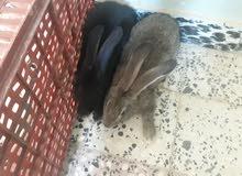 ارانب تلاته ارباع جامبو  دكوره فقط