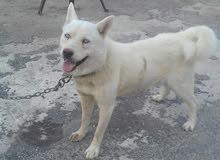كلب الاسكااا ذكرر اصلي العمر 11 شهر