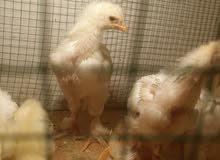 افراخ دجاج كولنبي للبيع
