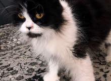 قطه مون فيس العدد 2 للبيع مستعجل مطعمه وبحاله جيده