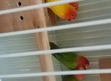 طيور الحب للبيع زوج وصحتهم تمام الحمد لله 0502044059