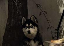كلب هاسكي مفقود في المدينة الرياضية