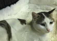 Tabby for adoption