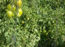 محميات زراعيه للطماط