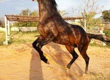 حصان أنجليزي أصيل من مواليد فرنسا