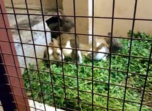 أرانب للبيع هولنديات زوج