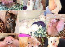 angora cats