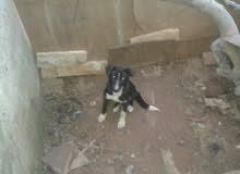 بوانتار كلب صيد العمر شهرين ونص