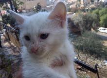 قطه للبيع 20 دينار 0775454529