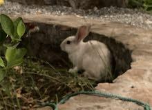 أرانب للبيع فقط للتبديل مع انثى