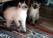 قطط ذكور اقرا الوصف