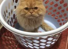 persian cat / iran kedisi