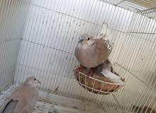 طيور الراعبي للبيع او المبادلع