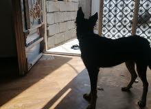 كلب جيرمان انثه العمر 5 أشهر ونص