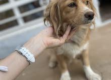 كلب لولو فوكس انثى 9 اشهر للبيع